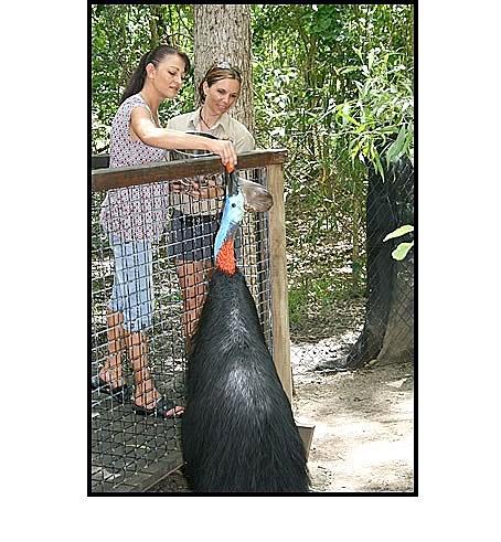 Get close to a cassowary